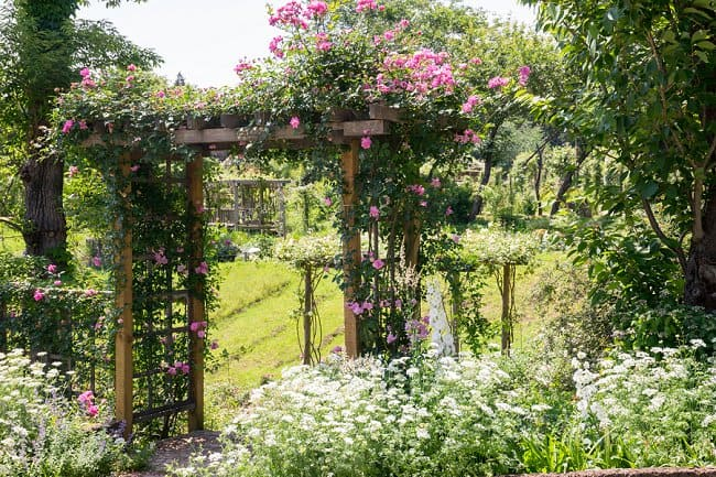 image of how to train climbing roses on an arbor