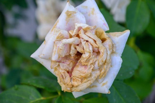 image of a dying rose