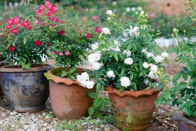 image of roses grown from cuttings in containers