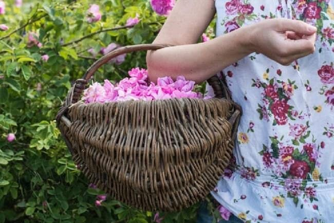 image of how to harvest rose petals for drying