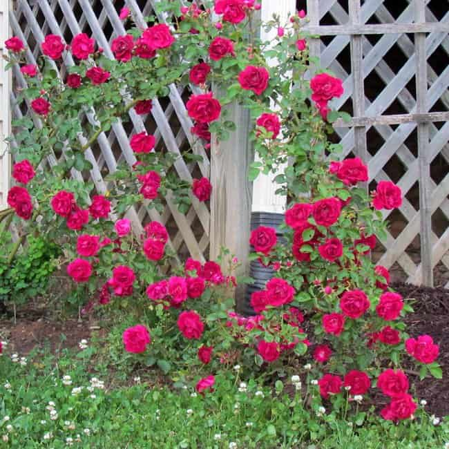image of the climbing rose 'blaze' growing along a fence