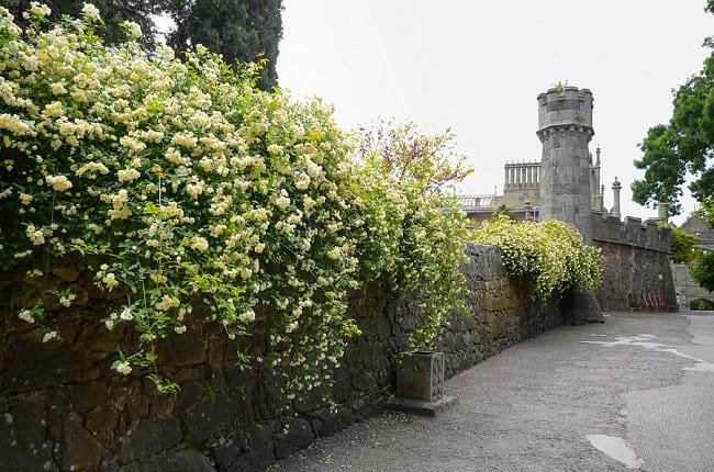 image of yellow lady banks roses