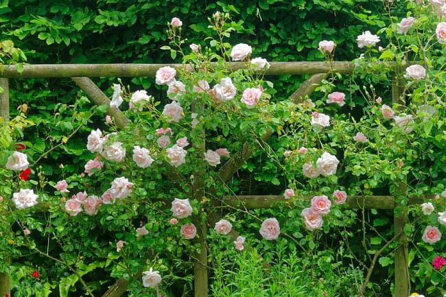image of new dawn pink rose along fence