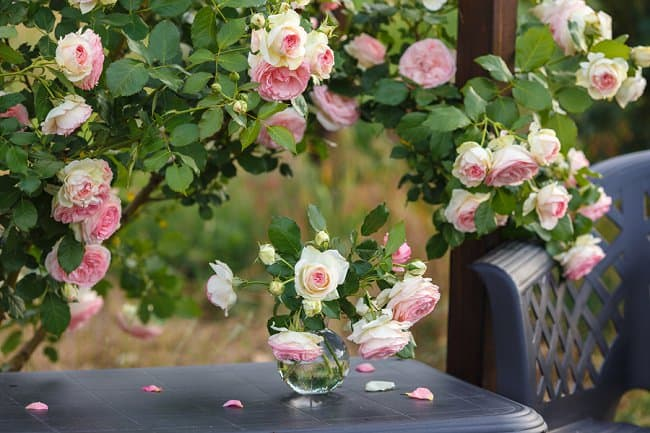 image of pierre de ronsard climbing rose perfect for fences and walls