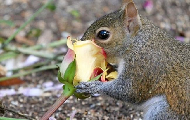 image of a squirrel eating a rose how to protect roses from squirrels