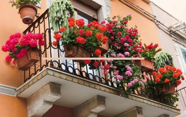 image of how to grow a rose garden on balcony