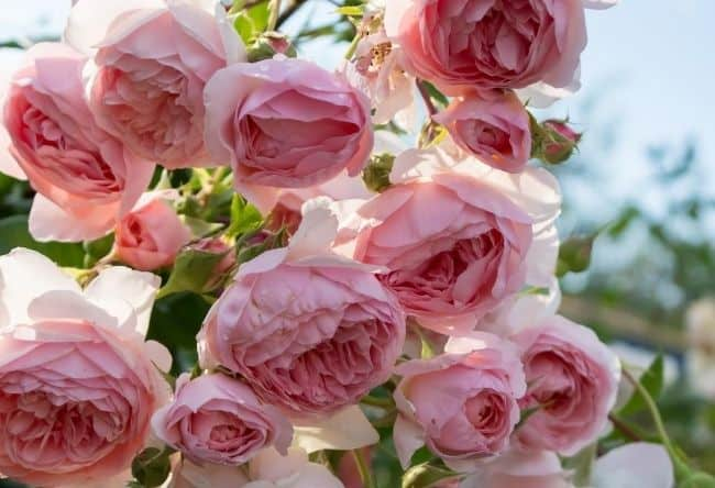 image of the william morris rose how to grow roses fast