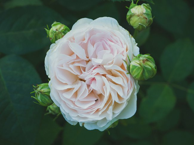image of a fully open rose surrounded by rose buds to show how to force rose buds to open early