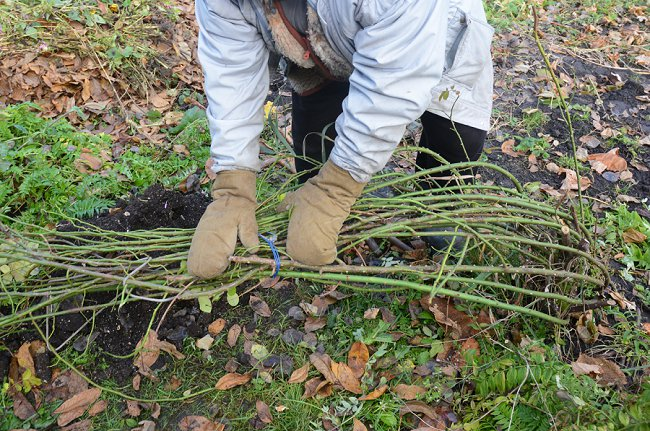 image of removing climbing rose branches to prepare for winter