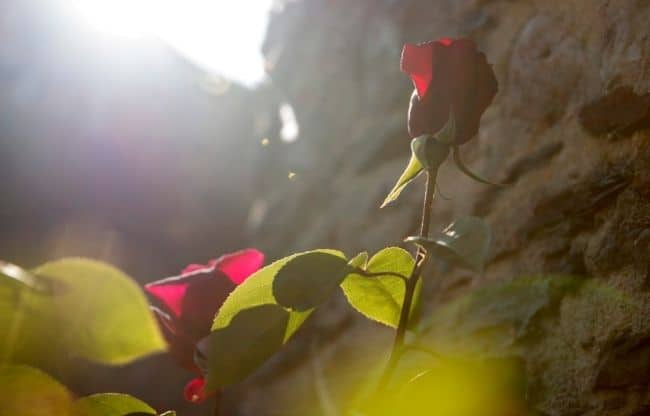 image of rose position in sunshine roses need sunlight