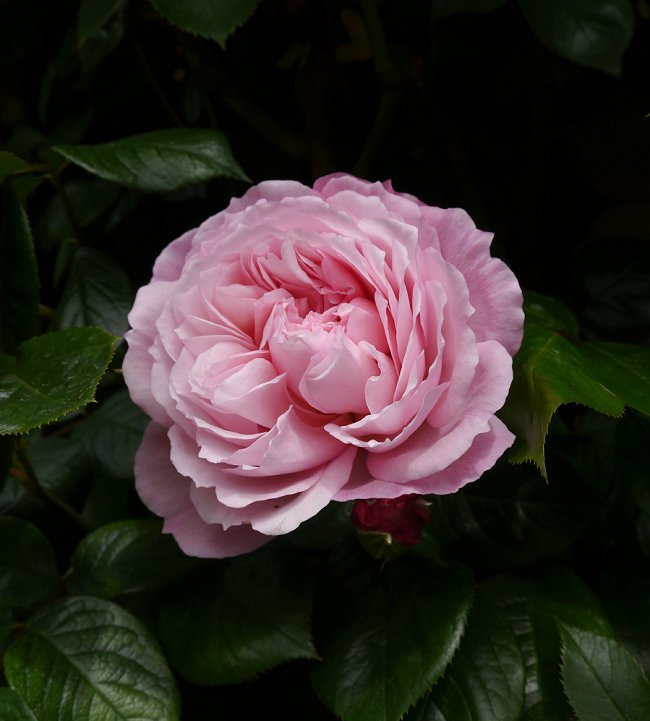 image of the generous gardener climbing rose great for shade