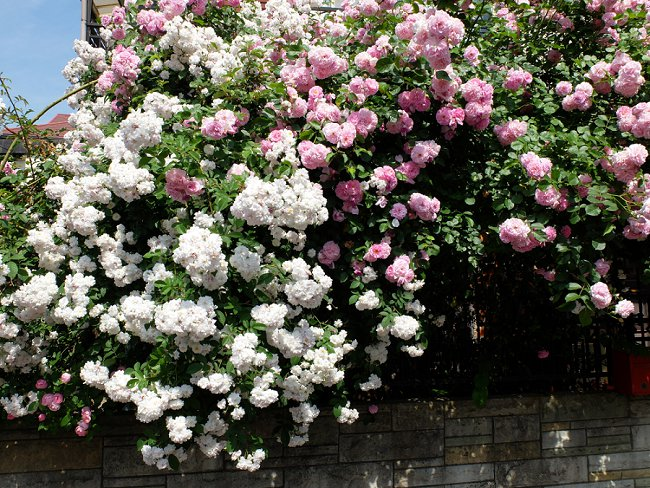 image of paul's himalayan musk rose on fence