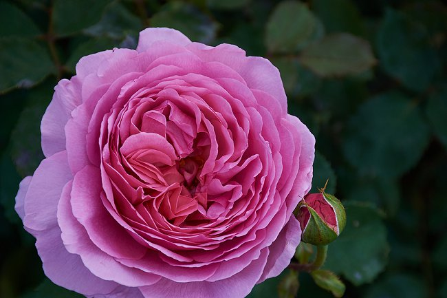 image of the fragranced rose princess alexandra of kent