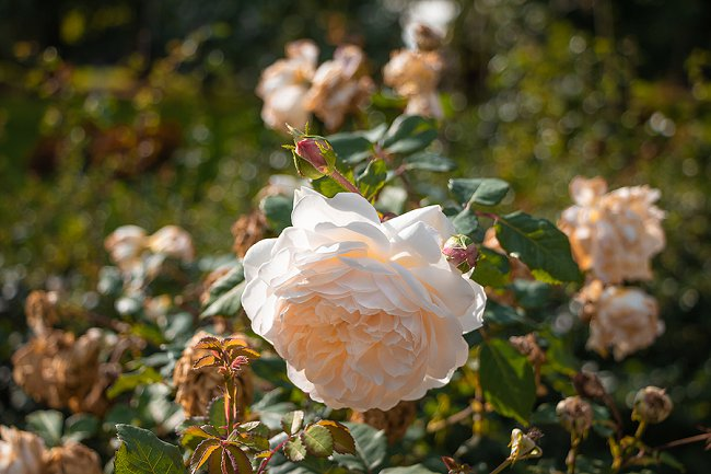 image of desdemona rose a fragranced rose for containers