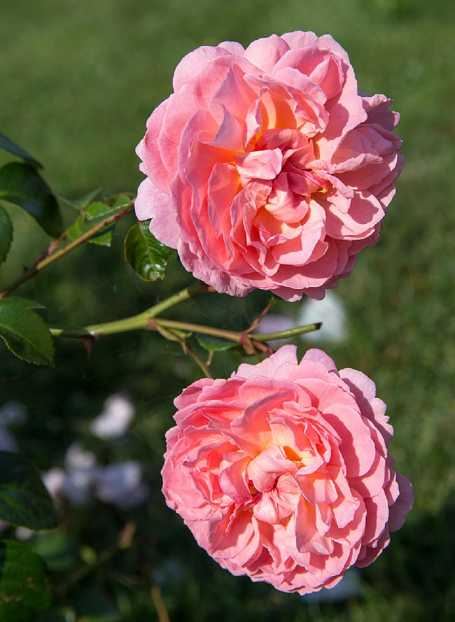 image of strawberry hill rose best scented roses for pots
