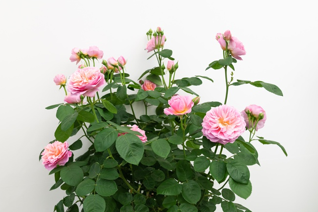 Image of potted rose variety eustacia vye