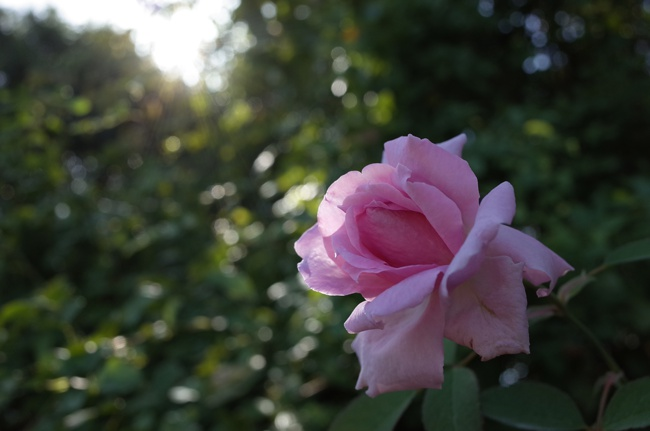 image of the mayflower rose potted rose in shade