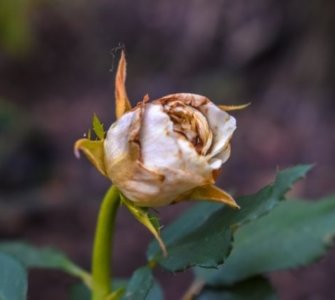 image of dying rose accidentally sprayed rose with weedkiller now what?