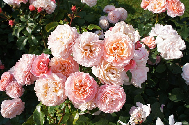 image of roses planted together in small space