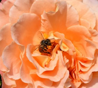 Image of roses bee-friendly