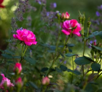 image of leggy knockout roses