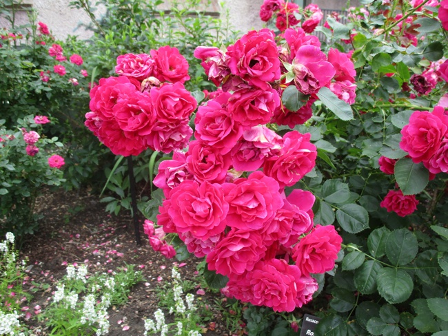 image of a healthy knockout rose bush