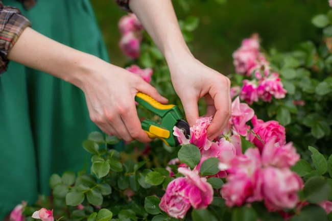 image of woman pruning leggy knockout roses