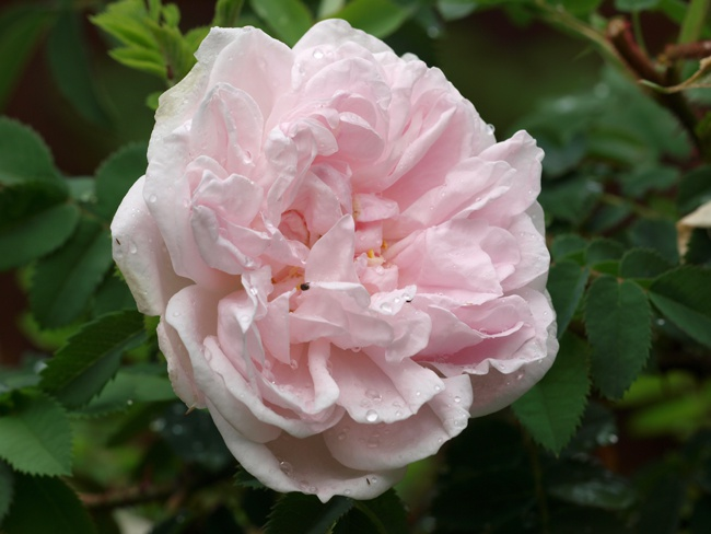 image of stanwell perpetual rose great for cold weather climates