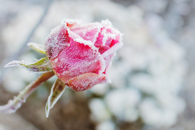rose in cold climate with frost