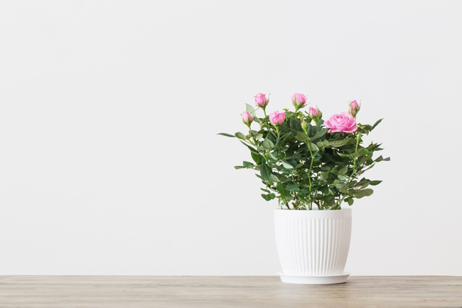 the easiest roses to grow indoors